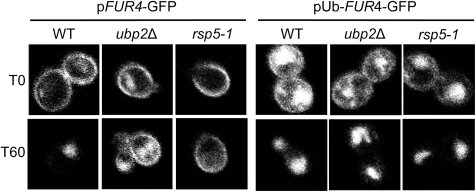 Ub-Fur4-GFP is correctly sorted at the MVB in ubp2Δ mutant cells.pFUR4-GFP or pUb-FUR4-GFP expression plasmids were transformed into WT and ubp2Δ cells. Strains were grown in sucrose, diluted (OD600 = 0.5) in media containing galactose and Fur4 synthesis induced for 4 hours. Transcription was stopped by adding glucose for 1 hour to chase Fur4 fusion reporters to the plasma membrane. Uracil (40 µg/ml) was then added to trigger internalization. GFP signal was viewed by fluorescence confocal microscopy both before (T0) and 60 min after uracil addition. (Note: cells in the left panel were also transformed with a control vector (YEp46Δ) and incubated with 0.1 mM copper sulphate, as the experiment was done in parallel to that shown in Figure 5.)