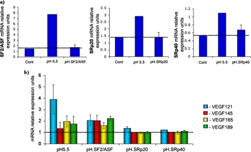 a Effect of SR proteins down-regulation in VEGF alternative splicing in acidic conditions. siRNA for SF2/ASF, SRp20 and SRp40 (performed in triplicate) were used and its efficacy was demonstrated by real time RT-PCR. b Using siRNA for SF2/ASF, SRp20 and SRp40, there was no shift in the VEGF isoforms pattern observed in acidic conditions, since all isoforms were similar to each other (p > 0.05) and to the control (p > 0.05)