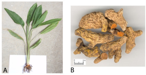 Plant (A) and root (B) of Curcuma longa ('curcumin') where root scale is shown as 1 cm.