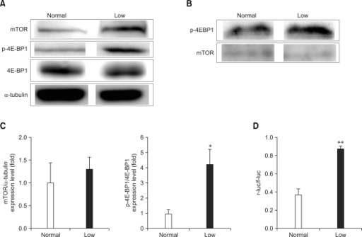 Western blot analysis of the mammalian target of rapamycin (mTOR), 4E-PB1 and p-4E-BP1 protein in the lungs of mice fed a low Pi diet (0.1% Pi) or a normal (0.5% Pi) diet for 4 weeks. (A) The expressions of mTOR, 4E-PB1 and p-4E-BP1 protein in the lungs. (B) The mTOR kinase activity and phosphorylation ratio for 4E-BP1 were measured in the lung homogenates. (C) The bands-of-interests were further analyzed by using a densitometer. (D) The luciferase activities were measured in the tissue homogenate from lung, and the ratios of the cap-dependent (r-luc) to the IRES dependent (f-luc) protein translation are shown. p values (*p < 0.05, **p < 0.01) indicate a significant difference compared with normal (mean ± SE, n = 4).