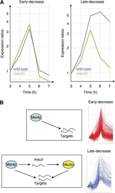 Meu5p regulates the dynamics of expression of its targets. (A) Average expression profiles of 'early-decrease' (left) or 'late-decrease' (right) genes in pat1-induced meiotic time courses. Labelling of the graphs is as in Figure 4A, except that expression ratios were normalized to the levels at 3 h after the induction of meiosis in the corresponding experiment. Data from wild-type meiosis are shown in purple and from meu5Δ are shown in green. (B) Diagram summarizing the regulation of the expression of middle genes. Proteins are shown as ovals and transcripts are shown as curvy lines. All middle genes are induced transcriptionally by Mei4p. Meu5p stabilizes its targets allowing them to be expressed for longer, whereas middle genes not bound by Meu5p are induced more transiently. Mei4p induces the expression of meu5, and thus Mei4p, Meu5p and their common targets form a feed-forward network motif.