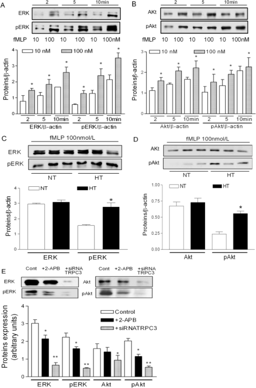 The role of Akt and ERK-dependent pathways in essential hypertension.A, B; fMLP activates ERK or phosphorylation of ERK (A) and Akt or phosphorylation of Akt (B) in a dose- and time-dependent manner in monocytes from normotensive control subjects. 10 nmol/L open bars, 100 nmol/L filled bars. Data are mean ± SEM, n = 3. *p<0.05 compared to lower concentration conditions. C, D; Increased fMLP-induced phosphorylation of ERK (C) and Akt (D) in monocytes from patients with essential hypertension. The proteins were measured using immunoblotting with specific antibodies. Data are mean ± SEM from three independent experiments. *p<0.05 compared to normotensive control subjects. E; fMLP activates monocytes by an ERK-dependent and Akt-dependent pathway. Akt, ERK, or pERK and pAkt were measured using immunoblotting with specific antibodies. In the presence of 2-APB or after administration of specific siRNA against TRPC3, the fMLP-induced ERK, pERK; Akt and pAkt were significantly reduced when compared with control conditions. Data are mean ± SEM from six independent experiments. *p<0.05; **p<0.01 compared to control.