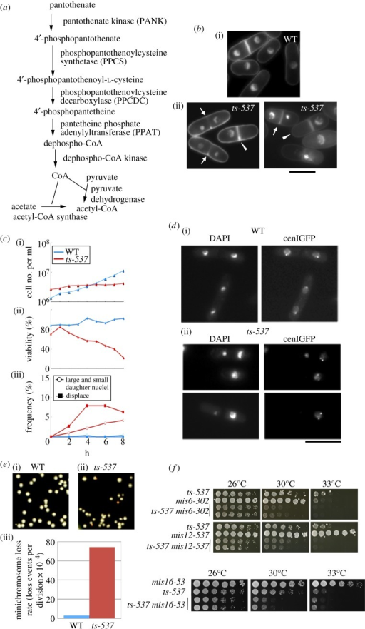 ts-537 strain is defective in the accurate chromosome segregation. (a) The biosynthetic pathway of CoA from pantothenate. (b) Light micrographs of WT and ts mutant ts-537, which were cultured at 36°C for 4 h. Cells were fixed and stained with DAPI. Scale bar, 10 μm. The arrows and arrowheads indicate cells with the defective phenotypes of unequal segregation and displaced nucleus, respectively. (c) The WT and mutant ts-537 cells exponentially grown at 26°C in the complete YPD medium were transferred to 36°C for 0–8 h. The cell number and cell viability percentage were scored at 1-h intervals under microscope and by plating. Aliquots of cells were fixed and stained with DAPI, and the frequency of aberrant mitosis was scored under the microscope. See text. (d) WT and ts-537 strains chromosomally integrated with GFP-tagged Lac repressor that was bound to the peri-centromeric region of chromosome I (§5) were cultured at 36°C for 4 h, then fixed with methanol. The peri-centromeric GFP signals are shown together with DAPI staining. Scale bar, 10 μm. (e) WT and ts-537 strains carrying an artificial minichromosome Ch10-CN2 were cultured in YPD medium at 26°C for 10 generations and plated on the complete medium. The colonies with high frequencies of minichromosome loss showed red–orange colour. The frequencies of minichromosome loss rates were scored as the frequency of Ade− red colonies. (f) Additive defects were observed for the double mutants between ts-537 and mis6, mis12 or mis16 (see text).
