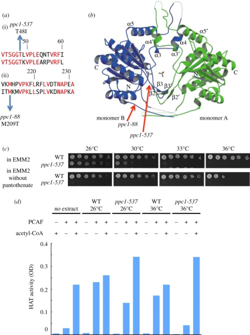 Fission yeast ts-537 and ts-88 are mutants of PPCS/Ppc1, auxotrophic to pantothenate, and lack functional acetyl-CoA. (a) The substitution mutation sites (T48I and M209T) determined for ts-537 and ts-88 strains, respectively, reside within the coding region of PPCS/Ppc1 (top and bottom aligned sequences are S. pombe and human, respectively). Identical residues are in red. (b) The location of mutation sites in the three-dimensional structure of human PPCS [40]. T48I mutation site in ppc1-537 locates near the catalytic centre, while the site for ppc1-88 locates at the periphery of PPCS. (c) Pantothenate is needed for ppc1-537 but not for the WT. Spot tests were done for the WT and ppc1-537 in the presence or the absence of pantothenate. The exponentially growing cells were spotted by a serial cell concentration on the EMM2 synthetic medium plates either containing or lacking 1 mg l−1 pantothenate, followed by incubation at the indicated temperatures for 4 days. (d) Cell extracts of growing WT and ppc1-537 mutant cells were made from the complete culture at 26°C or 36°C. Histone acetyltransferase (HAT) activities of these extracts were measured using the kit containing histone H4 peptide in the addition (+) or the non-addition (−) of human acetyltransferase PCAF recombinant protein and acetyl-CoA. The degree of acetylation that occurred at histone H4 peptide was assayed by the optical density using anti-acetyllysine first antibody and HRP conjugated second antibody. The WT extracts did not need the addition of acetyl-CoA, but the mutant extracts made at 36°C required acetyl-CoA for the HAT activity.