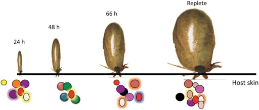 Temporally changing composition of tick saliva spit into the host skin. Schematic representation of the dynamic tick saliva. Ixodes scapularis engorge on vertebrate host skin for 3–7 days spitting saliva into the host dermis at the bite-site. Salivary composition potentially changes during feeding to confront the different host defense responses.