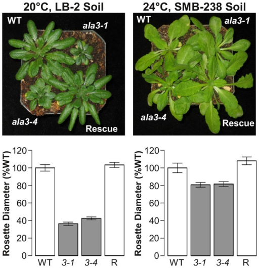 The size of ala3 rosettes relative to wild-type varies with growth conditions.Representative examples and quantitative analysis of strong (left) and weak (right) presentations of the ala3 rosette size phenotype. The growth conditions shown in the panels on the left are the same as those used by Poulsen et al. [22] to report the reduced rosette size phenotype of ala3 mutants. Rosette size was measured at the time of bolting as the average length of the three longest rosette leaves. Rosette sizes were normalized to the wild-type mean and are reported as mean ± SE. Genotypes significantly different from wild-type (p<0.05, Welch's t-test) appear in gray. Column label abbreviations are as follows: WT represents the wild-type controls; 3-1 and 3-4 represent ala3-1 and ala3-4 mutants, respectively; and R represents ala3 plants rescued by the expression of full length ALA3. Representative results are shown for three independent experiments, n = 7–9 plants for each genotype/condition combination.
