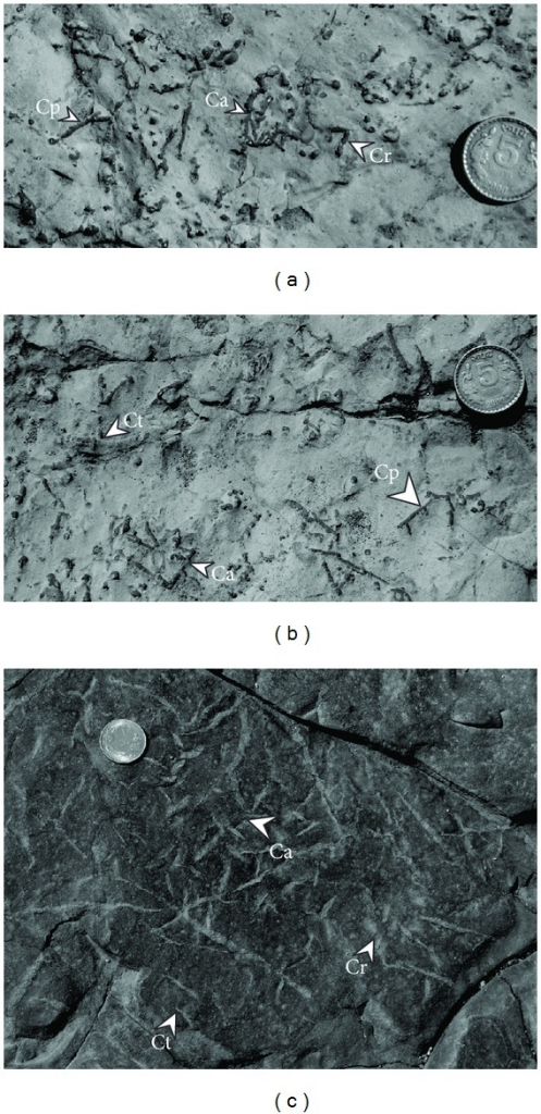 Claystone bedding surfaces within upper Barakar succession, showing associations of Chondrites patulus (Cp), Chondrites targionii (Ct), Chondrites affinis (Ca), and Chondrites recurvus (Cr). (a) and (b) are from Kudaposi Nala, Talchir Basin, and (c) is from Khudia Nala, Raniganj Basin. Diameter of the coin is 2.3 cm in (a) and (b) and 2.5 cm in (c).