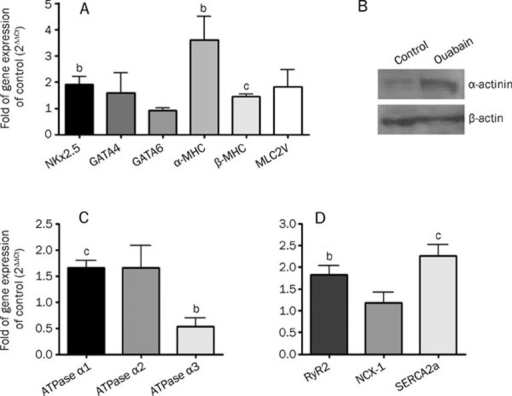 A cardiac maker gene expression of mesc with ouabain open i a cardiac maker gene expression of mesc with ouabain induced cardiac differentiation as ccuart Images