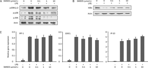 Effect of SM905 on LPS-induced MAPK activation, IκBα degradation and expression of IRF-1, STAT1, and IP-10 mRNA. (A) SM905 inhibited activation of ERK, p38, and JNK MAPKs in LPS-stimulated RAW 264.7 cells. RAW 264.7 cells (2×106cells/mL) were pretreated with the indicated concentrations of SM905 for 1 h followed by stimulation with LPS (1 μg/mL) for 15 min. Cells were lysed and assayed for phospho-ERK, phospho-p38, and phospho-JNK by Western blotting. The blots were probed with β-actin antibody to confirm equal protein levels. (B) SM905 inhibited IκBα degradation in LPS-stimulated RAW 264.7 cells. RAW 264.7 cells were pretreated with SM905 for 1 h followed by stimulation with LPS (1 μg/mL) for 15 min. Cells were lysed and assayed for IκBα and β-actin by Western blotting. The results presented are from one experiment, which is representative of two others performed. (C) SM905 had no apparent effect on IRF-1, STAT1, and IP-10 expression. RAW 264.7 cells were pretreated with SM905 for 1 h followed by stimulation with LPS (1 μg/mL) for 3 h. Total RNA was isolated and analyzed for mRNA expression with real-time PCR. The relative gene expression was obtained after normalization with HPRT. Results were presented as mean±SEM, n=3.