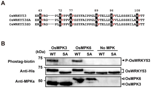 In vitro phosphorylation of OsWRKY53 by chitin-responsive OsMPKs.A, Putative MAPK phosphorylation sites in the SP cluster region of OsWRKY53, the loss-of-phosphorylation OsWRKY53 mutant with all 6 Ser substituted to Ala (OsWRKY53SA), and the phospho-mimicking OsWRKY53 mutant with all 6 Ser substituted to Asp (OsWRKY53SD). B, In vitro phosphorylation of OsWRKY53 by OsMPK3 and OsMPK6. Recombinant His-OsWRKY53 and His-OsWRKY53SA proteins were used as the substrate for rice mitogen-activated protein kinases (OsMPKs) activated by a constitutively active form of the rice MAP kinase OsMKK4DD. Proteins separated by SDS-PAGE were blotted on membrane and probed with a Phostag-biotin antibody (top panel). The arrowhead indicates the position of phosphorylated OsWRKY53 (P-OsWRKY53). The membranes were reprobed followed by probing with an anti-His antibody to detect added substrate OsWRKY53 and OsWRKY53SA proteins (middle panel). OsMPKs in the reaction mixtures were also detected by immunoblot analysis with anti-OsMPK3 and anti-OsMPK6 antiserum (bottom panel). WT, native His-OsWRKY53; SA, His-OsWRKY53SA.