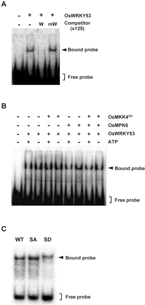 Phosphorylation of OsWRKY53 does not alter its W-box binding ability.A, W-box-specific DNA-binding activity of OsWRKY53. GMSA assay was performed using purified recombinant OsWRKY53 protein and 32P-labeled W-box probe containing the W-box cis-elements in the OsWRKY53 promoter. The specificity of the W-box binding activity was demonstrated by competition assay using 125-fold excess amount of unlabeled W-box probe (W) and mutated W-box probe (mW). B, Phosphorylation of OsWRKY53 does not enhance its W-box binding activity. Purified recombinant OsWRKY53 protein was phosphorylated using the OsMPK6 activated by OsMKK4DD. GMSA was performed as in A. C, W-box binding activity of OsWRKY53 variant proteins. Purified recombinant OsWRKY53, OsWRKY53SA and OsWRKY53SD proteins were subjected to GMSA. GMSA was performed as in A. WT, native His-OsWRKY53; SA, His-OsWRKY53SA; SD, His-OsWRKY53SD.