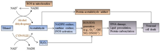In ethanol metabolism, the enzyme alcohol dehydrogenase oxidizes ethanol to acetaldehyde, while cytochrome P450-2E1 enzyme converts ethanol to acetaldehyde and H2O2. Acetaldehyde interacts with proteins and forms protein-acetaldehyde adducts (acetaldehyde-hemocyanin adduct). Hydrogen peroxide and acetaldehyde (via transcriptional activation of NADPH oxidase, xanthine oxidase, and iNOS) generate free radicals (reactive oxygen species, ROS/reactive nitrogen species, RNS), which oxidize proteins, lipids, and DNA leading to apoptotic cell death in the developing cerebellum.