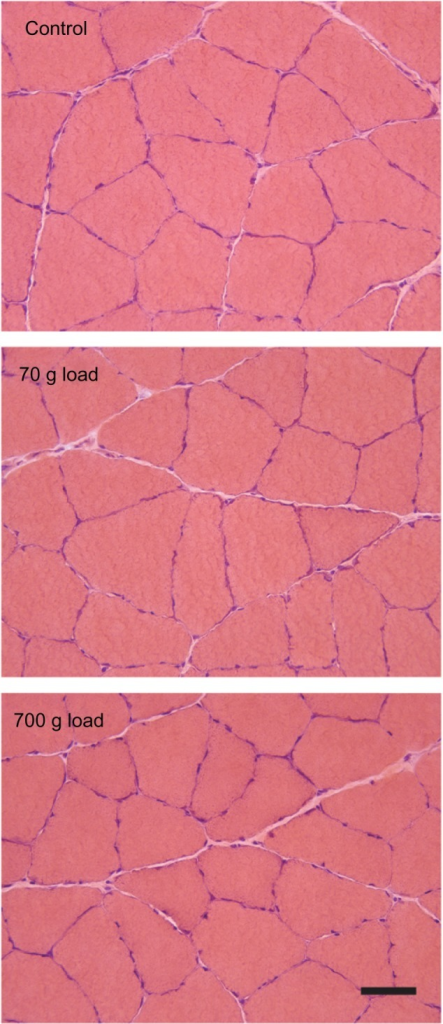 No indications of chronic degeneration/regeneration or alterations to the interstitium with training. Transverse sections of SOL muscles stained with hematoxylin and eosin. Scale bar = 50 μm.