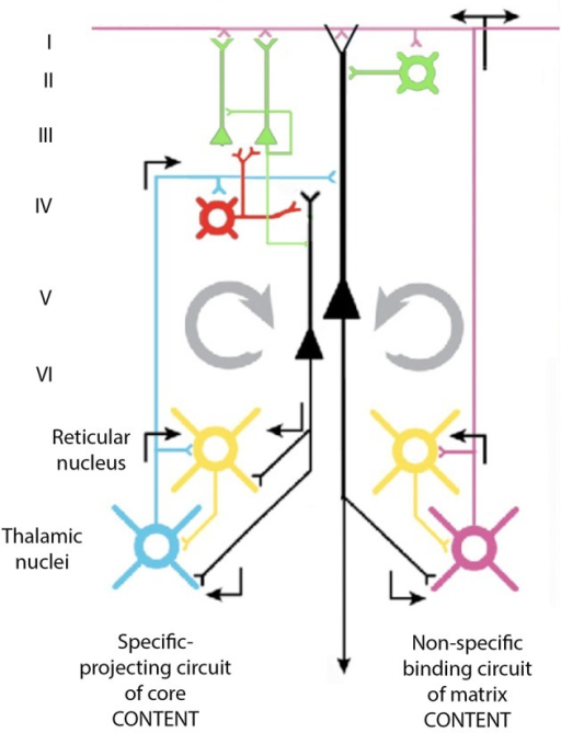 Diagram of the proposed cortico-thalamo-cortical reverberating circuit, which may underlie 40-Hz oscillation at the cortex. See text.