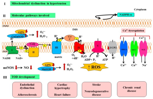 Representation of main molecular pathways linking mitochondrial dysfunction with TOD development in hypertension. NAD: Nicotinamide adenine dinucleotide; NADPH ox: Nicotinamide adenine dinucleotide phosphate oxidase; GPX: Glutathione peroxidase; CuZnSOD: Copper–zinc superoxide dismutase; CytC: Cytochrome C; CoQ: Coenzyme Q; SERCA: Sarco/endoplasmic reticulum Ca2+–ATPase; MCU: Mitochondrial Ca2+ uniporter; NCX: Na+/Ca2+ exchanger; ADP: Adenosine diphosphate; ATP: Adenosine triphosphate; mtNOS: Mitochondrial nitric oxide synthase; NO: Nitric oxide; MnSOD: Manganese superoxide dismutase; ROS: Reactive oxygen species; TOD: Target organ damage; OMM: Outer mitochondrial membrane; IMS: Intermembrane space; and IMM: Inner mitochondrial membrane; I: Complex I, NADH dehydrogenase; II: Complex II, succinate dehydrogenase; III: Complex III, cytochrome bc1 complex; IV: Complex IV, cytochrome c oxidase; V: Complex V, ATP synthase.