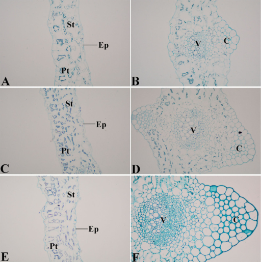 Safranin O-fast green staining of lignin in leaf blade cross section at three stages of 'Ventura'.(A): mesophyll of Stage 1 × 40; (B): leaf vein of Stage 1 × 40; (C): mesophyll of Stage 2 × 40; (D): leaf vein of Stage 2 × 40; (E): mesophyll of Stage 3 × 40; (F): leaf vein of Stage 3 × 40. Ep: epidermis; Pt: palisade tissue; St: spongy tissue; C: collenchyma; V: vascular bundles.