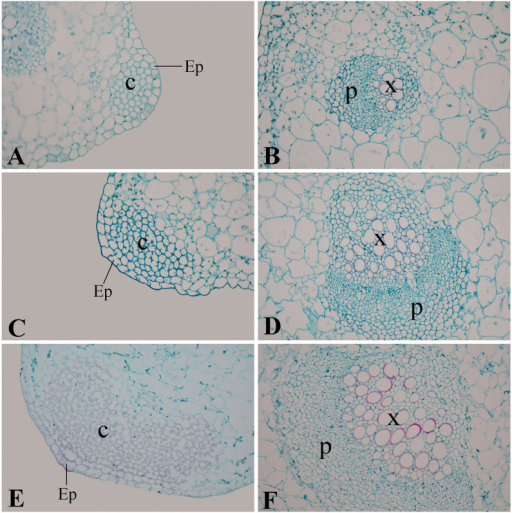 Safranin O-fast green staining of lignin in petiole cross section at three stages of 'Ventura'.(A), (B): Stage 1 of 'Ventura' × 40; (C), (D): Stage 2 of 'Ventura' × 40; (E), (F): Stage 3 of 'Ventura' × 40. C: collenchyma; Ep: epidermis; P: phloem; X: xylem.