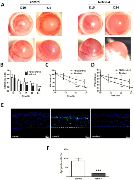 Netrin-4 promotes the regression of corneal neovascularization and inhibit apoptosis after alkali burns.(A) Ten days after the injury, dense neovascularization reached the central cornea. In this experiment, netrin-4 treatment began on day 10. By day 24, the new blood vessels regressed from the central cornea to the peripheral cornea in the control group. In contrast, almost all the new blood vessels had regressed to the limbal area in the netrin-4 treatment group by day 24. (B) The inflammatory index continuously decreased from day 10 to day 24 in both groups, while the index was significantly lower in the netrin-4 treatment group on days 17, 20, and 24 (* p < 0.05). (C) The NV area gradually reduced from day 10 to day 24 in both groups. There was a dramatic decrease of NV area in the netrin-4 treatment group on day 20 and day 24, and there was a significant difference between the two groups (* p < 0.05 and ** p < 0.01). (D) The average NV length was continuously reduced from day 10 to day 24 in both groups, and the length was shorter in the netrin-4 treatment group on days 17, 20, and 24 than in the other group (* p < 0.05 and ** p < 0.01). (E) Netrin-4 reduced alkali burn-induced apoptosis of corneal cells. (F) A statistical analysis of the apoptotic cells on day 7 between the two groups showed significant difference (*** p < 0.001).