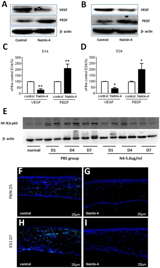 Effect of netrin-4 on VEGF, PEDF, NF-KB p65, PMN and ED1(CD68) expression after corneal alkali burns.(A) Western blot analysis results showed that VEGF was expressed at low levels in normal rat cornea, while there was a dramatic increase at day 14 (D14) after alkali burns in the control group. In the late stage treatment experiment, there was a decrease in VEGF on day 24 (D24). In the netrin-4 treatment group, there was a dramatic down regulation of VEGF on day 14 and day 24. PEDF was expressed in normal corneas and was dramatically decreased on days 14 and 24 after alkali burns, whereas it was restored after netrin-4 treatment. Densitometry of protein expression compared with β-actin showed significant differences between the control group and the netrin-4 treatment group in (B) VEGF and (C) PEDF on days 14 and 24 (** p < 0.01). (E) NK-KB p65 expression detected by western blot. (F) PMN and ED1(CD68) immunostaining after alkali burn day 5, 7.
