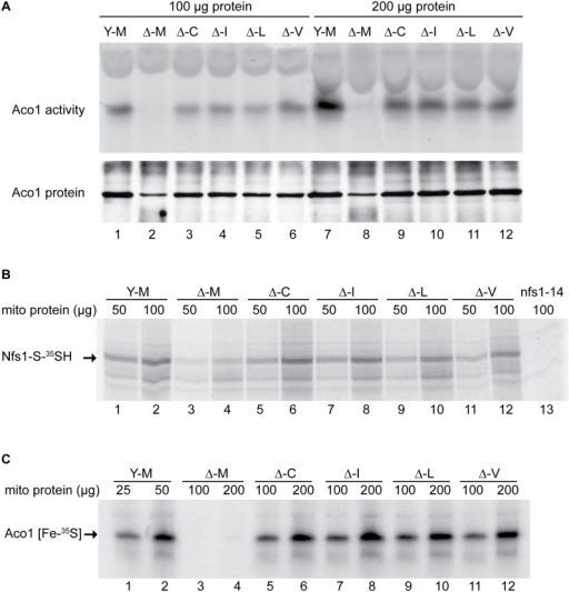 Assessment of Fe-S cluster assembly in mitochondria isolated from frataxin-bypass mutants.The same strains as in Fig 2 were assayed as follows: (A) Aconitase activity by in-gel assay. Mitochondria were lysed and 100 μg (lanes 1–6) or 200 μg (lanes 7–12) proteins were separated by native gel and developed using reagents that reflect aconitase activity (upper panel). The same lysates were separated by SDS-PAGE and analyzed by immunoblotting with anti-aconitase antibody to show the level of total aconitase protein (lower panel). (B) Persulfide formation on Nfs1 in mitochondria. Isolated and intact mitochondria were depleted of nucleotides and NADH by incubation at 30°C for 10 min. Either 50 μg or 100 μg protein equivalents were labeled for 15 min with 35S-cysteine. Samples were diluted with buffer, mitochondria were recovered by centrifugation, and total proteins were analyzed by non-reducing SDS-PAGE and autoradiography. The persulfide Nfs1-S-35SH is indicated by an arrow. Mitochondria from the nfs1-14 mutant was included as a negative control (lane 13), because this hypomorphic Nfs1 mutant has negligible persulfide-forming activity [16]. (C) New Fe-S cluster synthesis on apoaconitase in isolated mitochondria. Isolated and intact mitochondria, were labeled with 35S-cysteine in the presence of added 4 mM ATP, 1 mM GTP, 5 mM NADH and 10 μM ferrous ascorbate for 30 min at 30°C. Mitochondria were recovered and membranes were ruptured. After centrifugation, the supernatant fractions containing soluble mitochondrial proteins (corresponding to 25 or 50 μg for YFH1 [ISU1] and 100 or 200 μg for the other strains) were separated by native gel prior to autoradiography. The arrow indicates the aconitase protein containing newly made radiolabeled [Fe-35S] clusters.