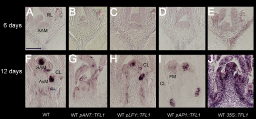 Early TFL1 expression patterns in the WT background. (A–E) TFL1 expression in the vegetative phase (6-day-old plants) of the WT (A) or the WT containing pANT::TFL1 (B), pLFY::TFL1 (C), pAP1::TFL1 (D), or p35S::TFL1 (E). For example, in (A), the shoot apical meristem (SAM) and rosette leaves (RL) generated by this meristem are indicated. (F–J) TFL1 expression in early to late I1 phase (10- to 12-day-old plants) of the WT (F) or the WT containing pANT::TFL1 (G), pLFY::TFL1 (H), pAP1::TFL1 (I), or p35S::TFL1 (J). Examples of inflorescence SAM, axillary meristems (AxM) in axils of cauline leaves (CL) and floral meristems (FM) are highlighted. All images were obtained with the same probes and signals developed for the same time. Signal is seen as a purple stain on a pale/pink background. Scale bar=100 μm.