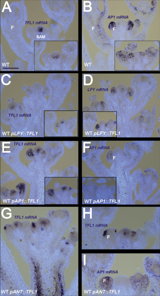 TFL1 and floral gene expression patterns in inflorescences in the WT background. (A, B) WT flowering shoots in the I2 phase at 21 d showing expression of TFL1 (A) or AP1 (B). Inserts in TFL1 (A) and LFY (B) at 17 d. (C, D) WT plants containing pLFY::TFL1 at 16 d showing TFL1 (C) and LFY (D) expression. Inserts show another transgenic line at 21 d. (E, F) WT plants containing pAP1::TFL1 at 21 d showing TFL1 (E) and (AP1) expression. Inserts show another line. (G–I) WT plants containing pANT::TFL1. Expression of TFL1 in a young tertiary shoot (G). Expression of TFL1 in an older secondary shoot (H) and AP1 expression (I). Shoot apical meristem (SAM), flower (F), and corresponding mRNA signals seen as a purple stain on pale blue/white tissue background. Scale bar=100 μm.