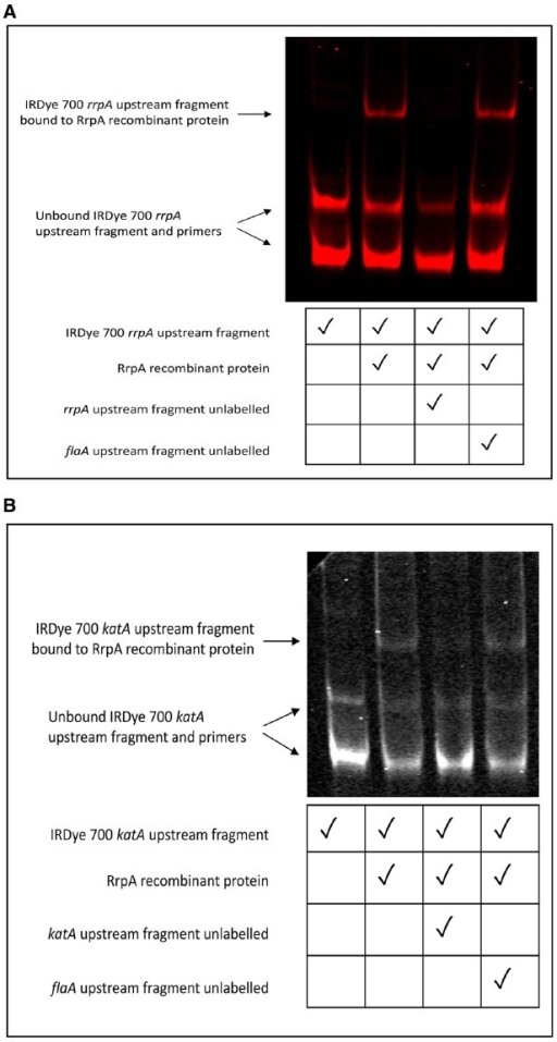 Electrophoretic mobility shift assays (EMSAs) indicate that RrpA binds to a DNA promoter sequence upstream of the rrpA (A) and katA gene (B). EMSAs were performed for RrpA protein hybridized to a PCR amplified fragment upstream of rrpA or katA labeled with IRDye® 700. 2.5 μg (≈175 pmol) recombinant native protein was hybridized with 20 ng of gel purified DNA using the Odyssey® Infrared EMSA kit (LI-COR Biosciences). Unlabelled PCR amplified fragments upstream of either rrpA, katA, or flaA were included as controls. Separation was performed under non-denaturing conditions with samples loaded onto a 6% (w/v) DNA retardation gel.