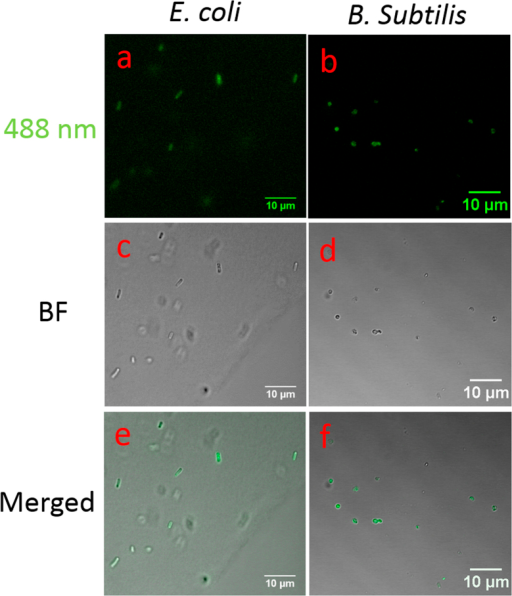 Cellular uptake of fBSA labelled C60-pyrrolidine tris acid by E. coli and B. subtilis monitored by Confocal Laser Scanning Microscopy.(a) and (b) fBSA-C60 pyrrolidine tris acid uptake by E. coli (a) and B. subtilis (b) visualized by exciting fBSA fluorescence using the 488 nm laser. (c) and (d) Bright field (BF) images of the microorganisms. (e) and (f) Merged fluorescence and BF images indicate that the fluorescent signals co-localize with the presence of the microorganisms.
