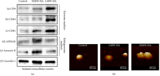 Identification of LMW-HA and HMW-HA-induced EV from human EC. Panel (a): biomarker analysis of HA-induced EV. HPMVEC were grown to confluence and switched to serum-free media and either no HA (control), 100 nM HMW-HA, or 100 nM LMW-HA for 24 hours. EVs were then isolated, run on SDS-PAGE, and immunoblotted with anti-CD9 (a), anti-CD63 (b), anti-CD81 (c), anti-AHNAK (d), antiannexin II (e), or anti-caveolin-1 (f) antibodies. LMW-HA-induced EV expressed exosome markers while HMW-HA-induced EV expressed enlargeosome markers. EV also expressed caveolin-1, a crucial component of caveolin-enriched microdomains (CEM). Panel (b): topographical images of HA-induced EV using atomic force microscopy (AFM). Isolated HA-induced EVs as described in Panel (a) were plated on mica and subjected to AFM analysis (see Section 2). The vesicles were never dried and are shown as imaged under buffer. Control EV and exosomes were round in shape and had a relatively smooth surface. In contrast, enlargeosomes were relatively round in shape but had a rough uneven surface topology. Control EV and exosomes had a diameter of ~50 nm which is consistent with the accepted exosome size range of 30–100 nm [20]. HMW-HA-induced enlargeosomes appeared slightly larger in comparison to exosomes.