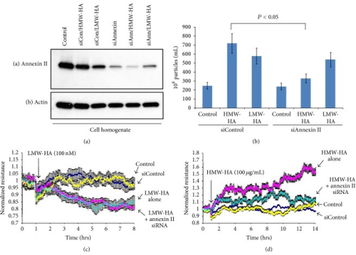 Inhibiting enlargeosome release attenuates HMW-HA-mediated sustained human EC barrier enhancement. Panel (a): inhibition of annexin II expression using siRNA in HPMVEC. Human EC were plated at ~50% confluence and treated with either no siRNA (control), siControl, or siAnnexin II with or without 100 nM LMW-HA or 100 nM HMW-HA for 48 hours. EC lysates were then obtained, run on SDS-PAGE, and immunoblotted with anti-annexin II (a) or anti-actin (b) antibodies. Panel (b): graphical representation of the role of annexin II inhibition in HA-mediated EV production from human EC. HPMVEC were treated as described in Panel (a) and EVs were analyzed utilizing nanosight nanoparticle tracking analysis (NTA). Silencing of annexin II, which has previously been reported to be crucial for enlargeosome exocytosis [23], significantly reduces HMW-HA-, but not LMW-HA-, mediated EV secretion from human EC with n = 3 per group and error bars = standard deviation. Panel (c): HPMVEC previously treated with either no siRNA (control), siControl, or annexin II siRNA were plated on transendothelial electrical resistance (TER) electrodes, grown to confluence, and switched to serum-free media and 100 nM LMW-HA was then added. Silencing of annexin II did not affect the sustained human EC barrier disruptive effects of LMW-HA with n = 3 per group and error bars = standard deviation. Panel (d): HPMVEC previously treated with either no siRNA (control), siControl, or annexin II siRNA were plated on transendothelial electrical resistance (TER) electrodes, grown to confluence, and switched to serum-free media and 100 nM HMW-HA was then added. In contrast to LMW-HA, silencing annexin II almost completely inhibited the sustained barrier enhancing effects of HMW-HA with n = 3 per group and error bars = standard deviation.