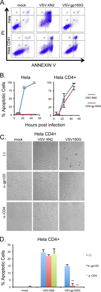 VSV-gp160G remains potently oncolytic and is dependent upon CD4 and gp120 interaction. (A and B) HeLa and HeLa CD4+ cells were infected with either VSV-XN2 or VSV-gp160G at an MOI of 0.1. Cells and supernatants were collected at 6, 12, 24, and 48 hpi. Cell death at each time point was determined using annexin V-propidium iodide (PI) staining. Representative gating results are shown. (C) Bright-field microscopy of infected HeLa CD4+ cells pretreated with neutralizing antibody against CD4 (1 μg/well, HeLa CD4+) or gp120 (2 μg/well, VSV inoculum) 1 h prior to infection at 24 hpi. (D) Cell death of VSV-infected HeLa CD4+ cells pretreated with neutralizing antibody was determined using annexin V-PI staining at an MOI of 0.01 at 24 hpi (Student t test, two tailed, equal variance; **, P < 0.001 [panel D, untreated control versus antibody treated]).