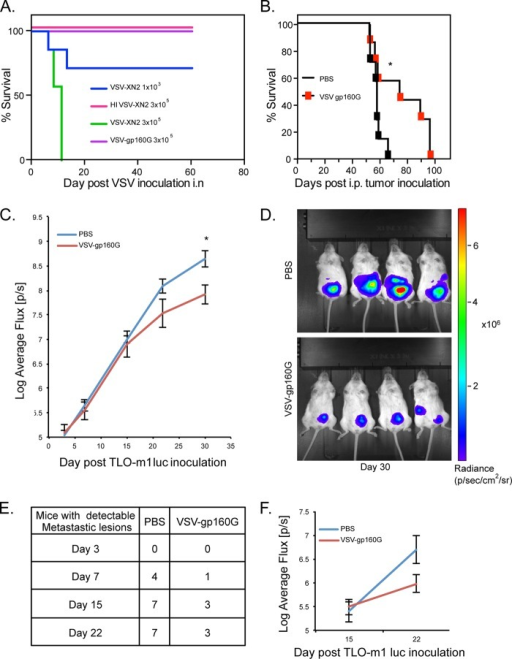 VSV-gp160G is nonpathogenic within immunodeficient NSG mice and mediates tumor burden relief in ATL bearing hosts. (A) Survival curve of NSG mice (n = 7) inoculated with various doses of VSV-gp160G, VSV-XN2, or heat-inactivated VSV-XN2. VSV vectors were prepared in PBS and delivered intranasally to anesthetized NSG mice. (B) Survival curve of NSG (n = 7) mice were inoculated with 4 × 105 TLO-m1-luc i.p. on day 0 and treated with two injections of VSV-gp160G with 2 × 106 PFU on day 3 and 1 × 107 PFU on day18 (*, P = 0.039, log-rank test). (C) Control or VSV-gp160G-treated mice from panel B were anesthetized and injected with a luciferin substrate i.p., and the uciferase activity was detected on days 3, 7, 15, and 22 using IVIS. The average flux (p/s) emitted is an indicator of tumor burden and was quantified using Living Image software (*, P = 0.014; Student t test two tailed, equal variance). (D) Representative images acquired on day 30 of the experiment when statistical significance was achieved. (E) Numbers of NSG mice inoculated with TLO-m1-luc that developed luciferase activity in areas other than the primary injection site, indicative of significant metastasis. (F) The luciferase activity detected in the metastatic lesions for each group was quantified using Living Image software with control mice (n = 7) and VSV-gp160G-treated mice (n = 3).