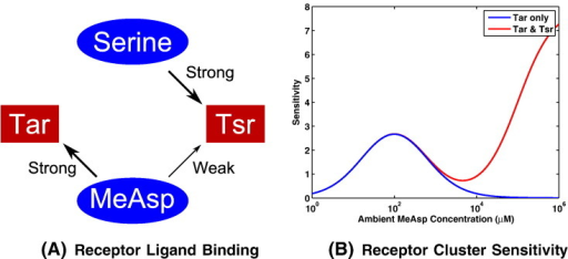MeAsp and serine bind with strong affinity to Tar and Tsr chemoreceptors, respectively. Additionally, MeAsp is able to bind Tsr chemoreceptors with a low affinity, as seen in panel (A). Panel (B) is reproduced from the work of Mello & Tu [15] and illustrates the difference in the sensitivity of a receptor complex when MeAsp may bind only to Tar receptors (blue) and where the low affinity binding of MeAsp to Tsr chemoreceptors is considered (red). In this work, the low affinity binding of MeAsp to Tsr chemoreceptors is neglected due to the chemoattractant concentrations considered. Note that sensitivity is defined as S≡ − ∂lnΦ/∂ ln[L], where S denotes the sensitivity, Φ is the receptor signalling team activity and [L] represents the ligand concentration. (For interpretation of the references to colour in this figure legend, the reader is referred to the web version of this article.)