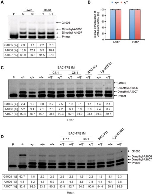 Dimethylation of 3′-terminal loop adenosines in mitochondrial 12S rRNA from BAC-TFB1M transgenic mice. (A) The methylation status of the mitochondrial 12S rRNA was determined by primer extension analysis of total RNA extracts from heart and liver in control (+/+) and BAC-TFB1M transgenic C7.1 (+/T) mice at 20 weeks of age. (B) Relative dimethylation at the A1006 and A1007 residues of 12S rRNA in control (blue bars) and BAC-TFB1M transgenic C7.1 (red bars) mice (n = 3 of each genotype). Error bars represent mean ± SD. (C) Primer extension analysis of 12S rRNA adenosine dimethylation in total RNA extracts from liver. The percentage stop at A1007 (the first nucleotide encountered by reverse transcriptase) corresponds to the degree of dimethylation at this adenosine; the percentage stop at A1006 reveals dimethylation here only in molecules where there is read-through from A1007 (and therefore no dimethylation at A1007); stopping at G1005 occurs upon ddCTP incorporation and represents the percentage of rRNA molecules without dimethylation at A1006 or A1007. The percentages below indicate primer extension stops owing to adenosine dimethylation at A1007 and A1006, as well as lack of adenosine dimethylation, which is evident as transcripts reading through to G1005. Dimethylation at A1006 and/or A1007 was consistently ≥97% in all tissue samples. (D) Primer extension analysis of 12S rRNA adenosine dimethylation in total RNA extracts from heart. Total RNA extracts from heart of homozygous TFB1M tissue-specific KO mice (−/−) at 10 weeks of age were used as a control. The percentages below indicate primer extension stops owing to adenosine dimethylation at A1007 and A1006, as well as lack of adenosine dimethylation, which is evident as transcripts reading through to G1005. With the exception of the homozygous TFB1M knockout in heart (−/−), dimethylation at A1006 and/or A1007 was consistently ≥97% in all tissue samples. Thus the previous report of lower methylation levels (30) was not corroborated in our reanalysis of the same tissue samples (Tg-mtTFB1).
