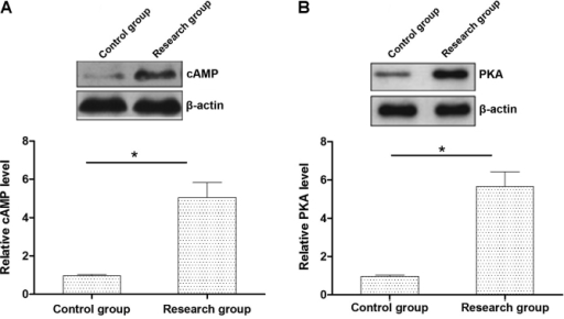 The cAMP-PKA protein expression levels in the rat myocardial tissues (both groups). * P<0.05, compared with the control group.
