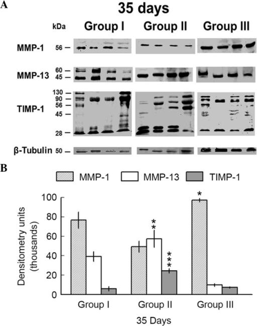 MMP and TIMP-1 protein expression levels in tissue samples from the 35 day asthma experimental model. (A) Active MMP-1 and MMP-13 forms were observed in all samples assayed (56- and 45-kDa bands, respectively). Pro-MMP-13 was identified in tissue samples from group II (60-kDa band). TIMP-1 was present as a 28-kDa band in the majority of tissue samples. Bands of larger weight which correspond to TIMP-1 polymers or complexes were also observed. (B) Densitometry analysis showed a significant increase in MMP-1 expression levels in samples belonging to group III as compared with group II (*P=0.013). Group II MMP-13 expression levels were significantly higher, as compared with those of group III (**P=0.003). TIMP-1 expression levels were significantly increased in group II, as compared with TIMP-1 expression levels in the tissue samples of control animals (group I; ***P=0.01). Bars represent the mean ± standard error. MMP, matrix metalloproteinase; TIMP, tissue inhibitors of metalloproteinase.