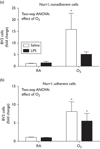 Combined effects of LPS and hyperoxia exposure decrease Nurr1 expression. BV2 cells were exposed to LPS (50 ng/ml) or saline and exposed to room air or hyperoxia for 48 h (85% O2). Nonadherent cells and adherent cells were harvested independently and RNA were extracted. Nurr1 expression was measured by RT-qPCR. Data were analyzed by a two-way ANOVA with Tukey's post-hoc, (*P<0.05, n=6) and are presented as mean±SD. ANOVA, analysis of variance; LPS, lipopolysaccharide; RT-qPCR, quantitative reverse transcription PCR.