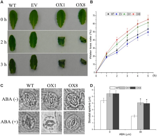 Response of TaNAC2D-OX plants to dehydration and ABA-mediated stomatal closure.(A) Phenotypes of leaves under dehydration stress for 0, 2, and 3 h. (B) Water loss rate of WT, EV, and OXs. Data are means ± SE of three independent experiments (n = 10). (C) Guard cells of 35-day-old soil-grown WT and OXs treated with or without 30 μM ABA for 1 h. Scale bars = 30 μm. (D) Quantitative analysis of the size of stomatal aperture. Data are means ± SE (n = 50). Asterisks indicate significant differences from WT (∗P < 0.05).