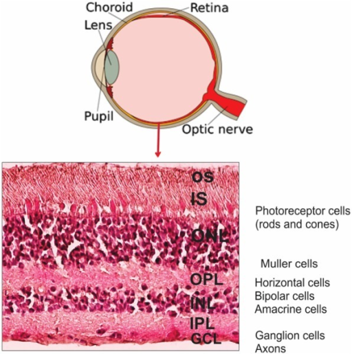 Anatomy Of Human Eye And Retinal Layers Diagram Of The Open I