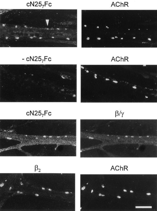Binding sites for agrin on cultured chick myotubes colocalize with AChRs and laminin. Cultured chick myotubes were induced to form AChR clusters with 200 nM c21B8. Simultaneously,  20 nM cN257Fc were included. AChR aggregates were stained by  rhodamine–α-bungarotoxin, and cN257Fc bound to the myotubes  was visualized with biotinylated goat anti–mouse IgG followed by  fluorescein-conjugated streptavidin. cN257Fc is concentrated in  AChR clusters and is distributed along the edges of the myotubes  (arrowhead). No staining is seen in the absence of this fragment  (−cN257Fc). Consistent with the idea that cN257Fc binds to laminin, the distribution of myotube-bound cN257Fc resembles the  staining pattern obtained with anti-β/γ-specific antiserum 648 (β/ γ). The β2 chain of laminin, also called s-laminin, is concentrated  in AChR clusters. In light of the colocalization of cN257Fc and  AChR clusters, laminin-4 (α2, β2, γ1) is a binding partner of  agrin in these clusters. Bar, 40 μm.