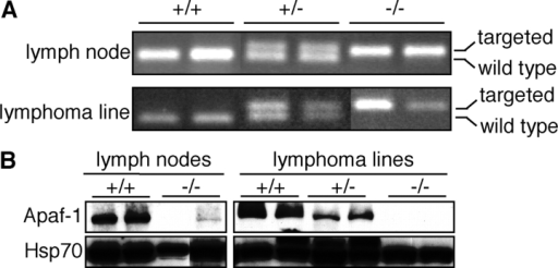 Genotyping of lymphomas and lymphoma-derived cell lines. (A) Apaf-1 allele-specific PCR and (B) Western blot analysis of lymphomas and lymphoma cell lines. A small amount of Apaf-1 protein was detected in some Eμ-myc/Apaf-1−/− lymphoma samples, most likely due to contaminating recipient-derived stromal tissue, as no Apaf-1 protein was detected in the cell lines derived from these lymphomas.