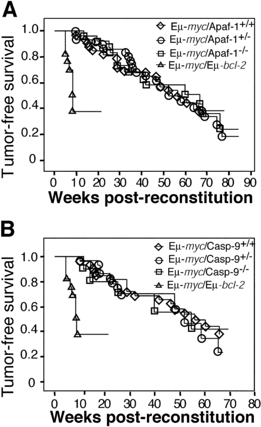 Eμ-myc lymphoma onset is not affected by loss of Apaf-1 or caspase-9. Fetal liver cells from Eμ-myc transgenic Apaf-1+/− or Apaf-1−/− or Eμ-myc transgenic caspase-9+/− or caspase-9−/− E14.5 embryos were used to reconstitute lethally irradiated mice. As controls, recipients were reconstituted with fetal liver cells from E14.5 wild-type, Eμ-myc transgenic, or Eμ-myc/Eμ-bcl-2 double transgenic embryos. Mice were killed when noted to be sick and were found to suffer from Eμ-myc lymphoma, with the exception of a small number of poorly reconstituted mice morbid with anemia or infection. (A and B) Kaplan-Meier analysis of tumor-free survival (weeks).