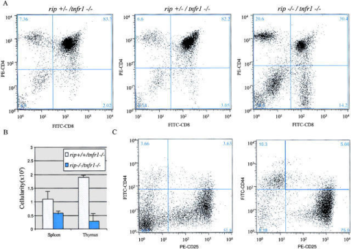 DP thymocyte apoptosis in the absence of rip and tnfr1. Flow cytometric analysis of thymocytes from rip+/−/tnfr1−/− and rip−/−/tnfr1−/− mice. (A) Thymocytes from day-6 rip+/−/tnfr1−/− and rip−/−/tnfr1−/− mice were stained with PE–anti-CD4, FITC–anti-CD8, and LDS-751. The percent of viable cells are indicated in each quadrant. (B) Thymocyte and spleen cell counts of rip+/+/tnfr1−/− and rip−/−/tnfr1−/− mice. Cell counts were performed in triplicate. Results are expressed ± SEM of at least six animals between 6 to 8 d old. (C) Thymus from control littermates and rip−/−/tnfr1−/− mice was stained with a lineage-specific cocktail containing biotinylated-IgM, -Ter 119, -Gr1, –Mac-1, -PanNK, -CD3, -CD4, and -CD8. Some samples were then stained with FITC-CD44, PE-CD25, and Streptavidin-CyChrome. The Cy− or DN cells were further analyzed according to their expression of CD44 and CD25. The percent of positive cells are indicated in each quadrant. Seven rip−/−/tnfr1−/− mice and seven littermate controls were analyzed. One representative experiment is shown.