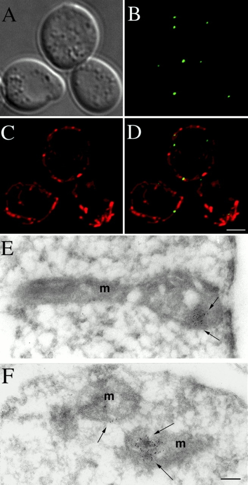 Mmm1p is localized in punctate structures on the mitochondrial surface. mmm1::URA3 strain YAAH1, which expresses Mmm1p-GFP from plasmid pAA2, was grown in YEP glycerol/ethanol media to early log phase and stained with MitoTracker™ Red. Live cells were mounted on slides and examined using a DeltaVision microscope system. 15 total images were taken in the z axis through the cells, deconvolved, and 7 of the 15 optical sections near the top of the cells were flattened into a single image. (A) Differential interference contrast (DIC); (B) Mmm1p-GFP fluorescence; (C) MitoTracker fluorescence; (D) merged images of B and C. Bar: 2 μm. (E and F) Strain YAAH3, which expresses Mmm1p-HA, was fixed, embedded, and frozen. Cryosections were incubated with antibodies to the HA epitope, followed by incubation with secondary antibodies conjugated to 5-nm gold particles. After staining, sections were examined under the electron microscope. Bar: 0.1 μm.