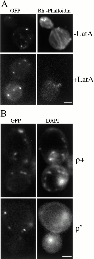 Mmm1p maintains a punctate localization in the absence of actin or mtDNA. (A) YAAH1, which expresses Mmm1p-GFP, was grown to early log phase and treated with Latrunculin A (+LatA), or mock treated (−LatA) at 24°C for 30 min. Cells were fixed and stained with Rhodamine-Phalloidin to visualize the actin cytoskeleton. Representative images of cells examined by fluorescence microscopy in the green (GFP) and red (Rh.-Phalloidin) channels are shown. (B) Mmm1p-GFP–expressing strains YAAH1, which contains mtDNA (ρ+) and YAAH2, which lacks mtDNA (ρ°), were stained with 1 μg/ml DAPI to visualize the mtDNA. Although DAPI treatment of living cells preferentially stains mtDNA, low-level staining of nuclear DNA can be seen when images are overexposed or no mtDNA is present. Bars: 2 μm.