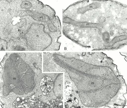 Normal inner membrane cristae morphology is lost in mmm1 disruption mutants. Wild-type (RJ485), wild-type rho° (YHS92), and mmm1::URA3 (RJ483) cells were grown at 24°C to mid-log phase, fixed, and thin sections were examined by electron microscopy. (A) Wild-type cells; (B) wild-type rhoo cells; (C) mmm1::URA3 cells. m, mitochondria; n, nucleus. Bar: 0.1 μm.