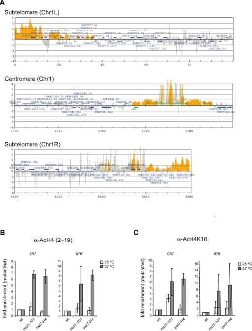 Acetylation of histone H4 is aberrantly increased in the central kinetochore domain in mcl1 and swi7 mutants.(A) ChIP-on-chip was performed using the antiserum raised to a peptide corresponding to amino acid 2–19 of histone H4 that is acetylated at K5, K8, K12, and K16 (AcH4-KN). The cells were prepared as described in Figure 4C. Values obtained from AcH4-KN in the mcl1 mutant were divided by those in wild-type strain. The orange shading represents the binding ratio of loci that show significant enrichment as described previously [68]. Representative results for subtelomeric and centromeric regions of chromosome I are shown. (B,C) ChIP was performed using AcH4-KN (B) and AcH4-K16 (C), respectively. The cells were prepared as described in Figure 4C. Values obtained in the mutants were normalized to those obtained in wild-type strain. Values are further normalized to euchromatic lys1 locus. Average fold enrichment compared to wild-type are obtained from two repetitions. Strains were wild-type (JY879), mcl1-101 (NYSPC52), swi7-H4 (TN403).