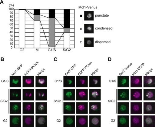 Mcl1 localizes to replication foci during S-phase.(A) Mcl1 changes its nuclear localization during S-phase. Cells expressing Mcl1-Venus from the endogenous locus were classified into 4 cell cycle stages according to their morphology. The percentage of cells showing punctate (closed bar), condensed (shaded bar), and dispersed (open bar) localization of Mcl1-Venus in various cell cycle stages are shown (left panel). Representative photographs of each localization pattern are shown (right panel). (B–D) Mcl1 and Swi7 colocalize with PCNA in the S-phase nucleus. Mcl1-GFP and ECFP-PCNA (B), Swi7-GFP and ECFP-PCNA (C), and Swi7-Venus and Mcl1-ECFP (D) are shown. Merged images are also shown.