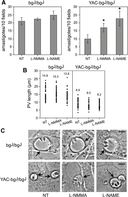 iNOS inhibition rescues Leishmania replication within small parasitophorous vacuoles.(A) Treatment with iNOS inhibitors does not affect L. amazonensis growth in the enlarged PVs of bgJ/bgJ fibroblasts, but rescues growth in the small PVs of YAC-bgJ/bgJ fibroblasts. After pretreatment with 50 µM L-NMMA or 50 µM L-NAME, the fibroblasts were infected for 1 h, washed and incubated for 24 h, followed by determination of the number of intracellular parasites. The data corresponds to the mean +/− SD of triplicates. Asterisks indicate significant differences from non-treated controls (NT): * P<0.05 (Student t test). (B) iNOS inhibitors do not alter PV size in bgJ/bgJ or YAC-bgJ/bgJ fibroblasts. Cells were exposed to L. amazonensis amastigotes for 30 min, washed, and further incubated for 24 h followed by microscopic determination of PV size. The values represent the mean of 50 independent measurements. (C) Phase contrast images of bgJ/bgJ or YAC-bgJ/bgJ fibroblasts pretreated or not with L-NMMA or L-NAME, exposed to L. amazonensis amastigotes for 1 h and fixed after 24 h. Arrows point to individual PVs. Bars = 5 µm.