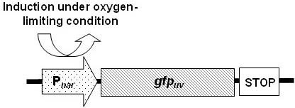 Gene map of recombinant plasmid pNar-GFPuv. gfpuv gene is regulated by nar (Pnar) promoter.
